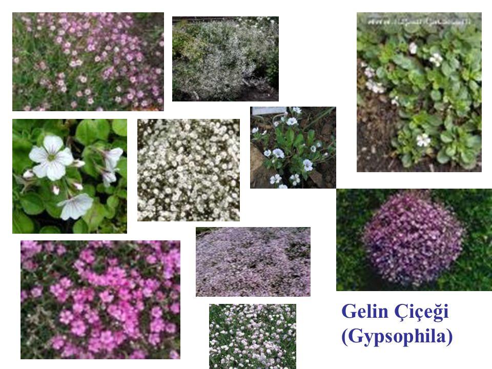 Gelin Çiçeği (Gypsophila)