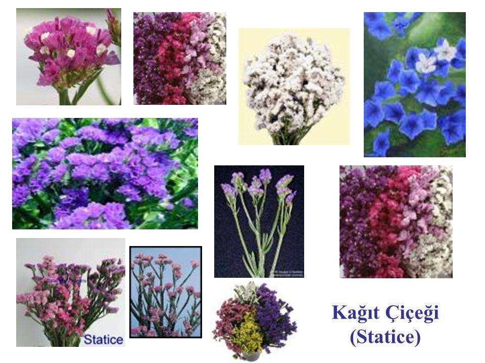 Kağıt Çiçeği (Statice)