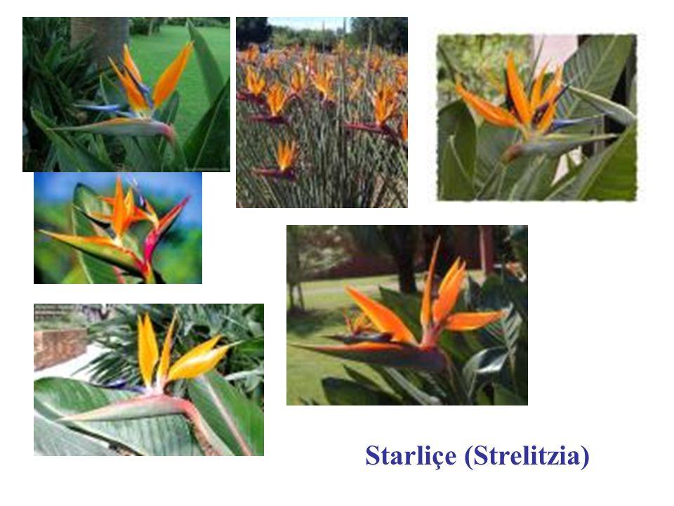 Starliçe (Strelitzia)