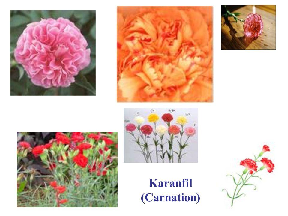 Karanfil (Carnation)