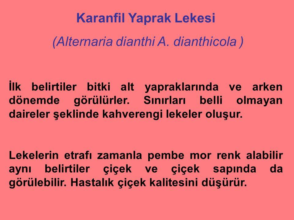 Karanfil Yaprak Lekesi