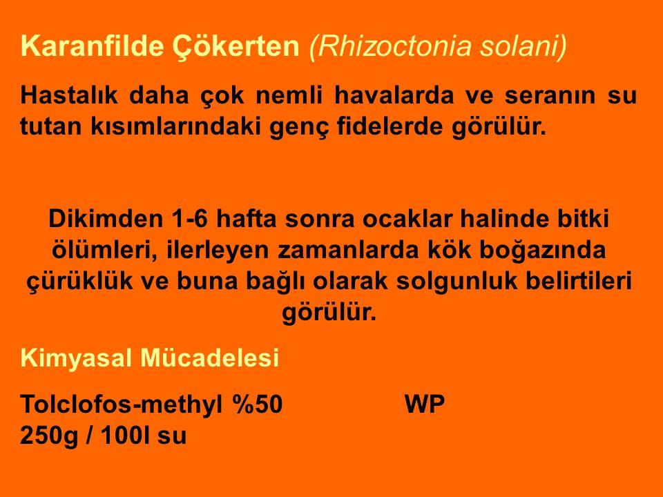 Karanfilde Çökerten (Rhizoctonia solani)