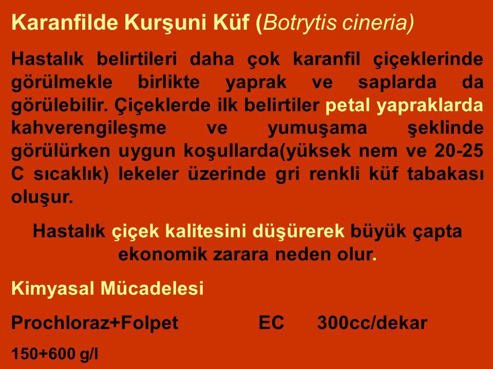 Karanfilde Kurşuni Küf (Botrytis cineria)