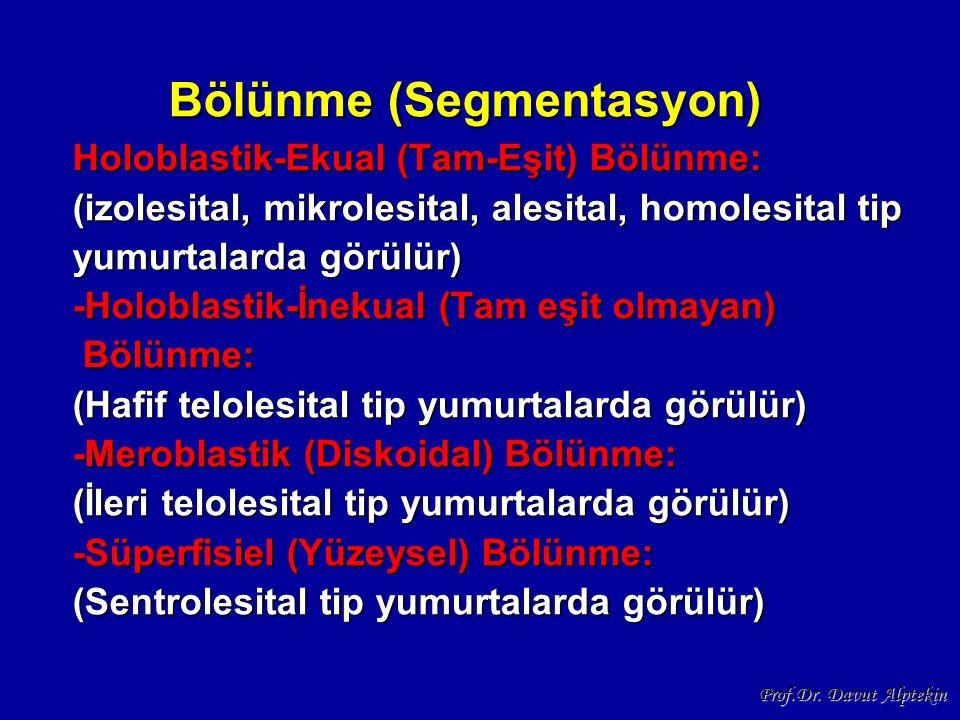 Bölünme (Segmentasyon) Holoblastik-Ekual (Tam-Eşit) Bölünme: (izolesital, mikrolesital, alesital, homolesital tip yumurtalarda görülür) -Holoblastik-İnekual (Tam eşit olmayan) Bölünme: (Hafif telolesital tip yumurtalarda görülür) -Meroblastik (Diskoidal) Bölünme: (İleri telolesital tip yumurtalarda görülür) -Süperfisiel (Yüzeysel) Bölünme: (Sentrolesital tip yumurtalarda görülür)