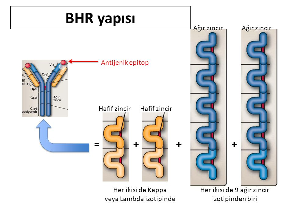 BHR yapısı = + + + Ağır zincir Ağır zincir Antijenik epitop
