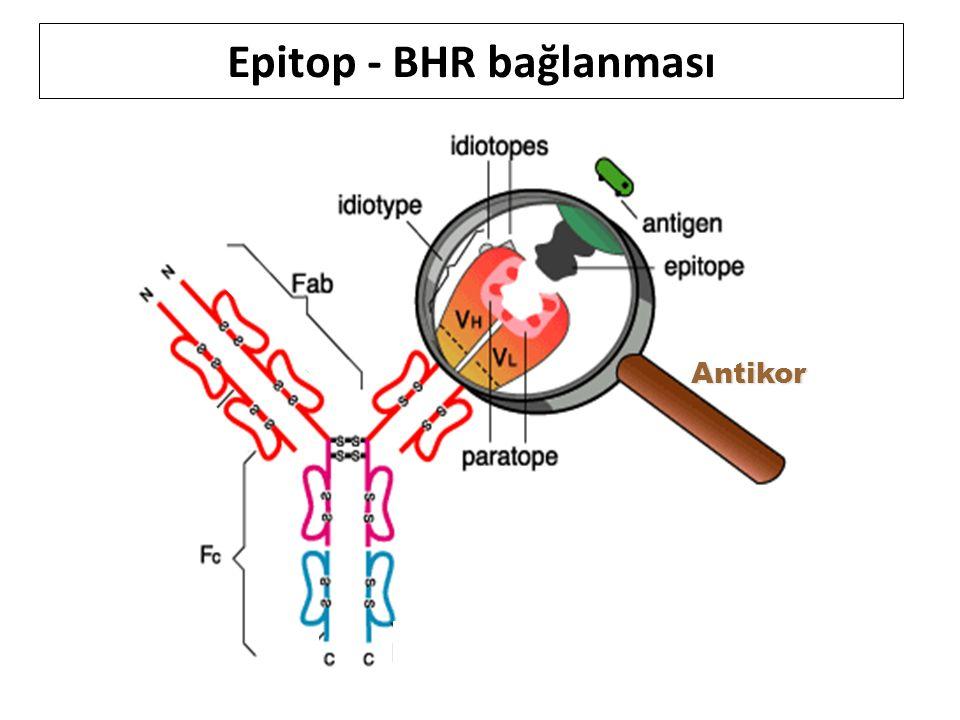 Epitop - BHR bağlanması
