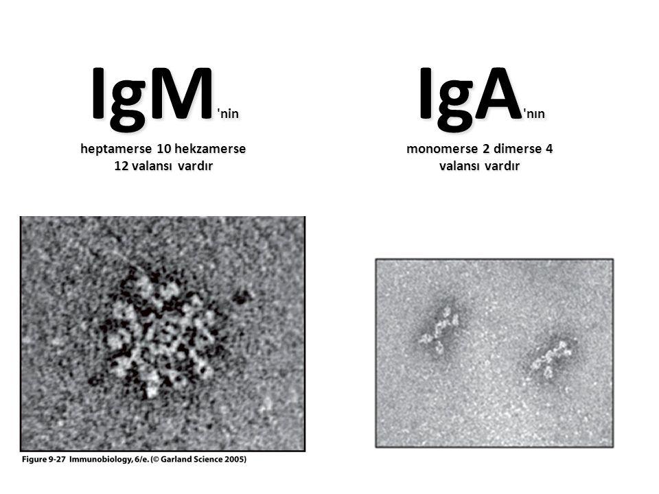 IgM nin IgA nın Figure 9-27 heptamerse 10 hekzamerse 12 valansı vardır