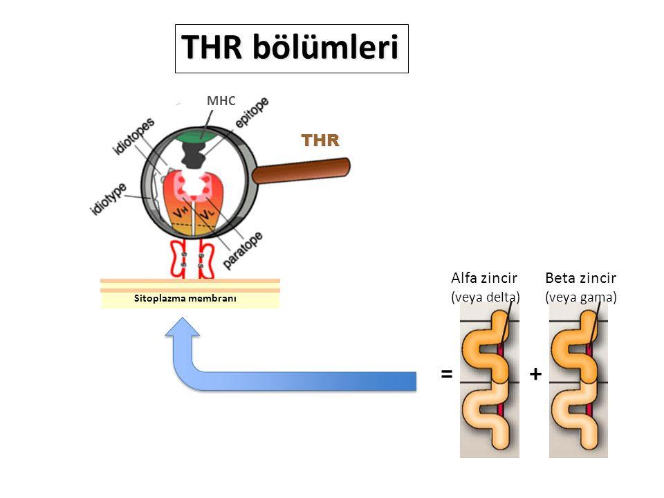 THR bölümleri = + THR Alfa zincir Beta zincir (veya delta) (veya gama)