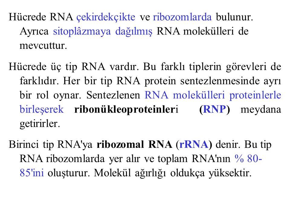 Hücrede RNA çekirdekçikte ve ribozomlarda bulunur