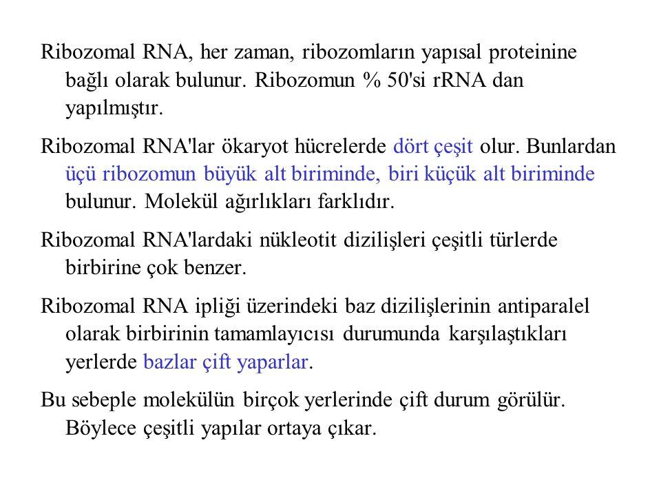 Ribozomal RNA, her zaman, ribozomların yapısal proteinine bağlı olarak bulunur. Ribozomun % 50 si rRNA dan yapılmıştır.