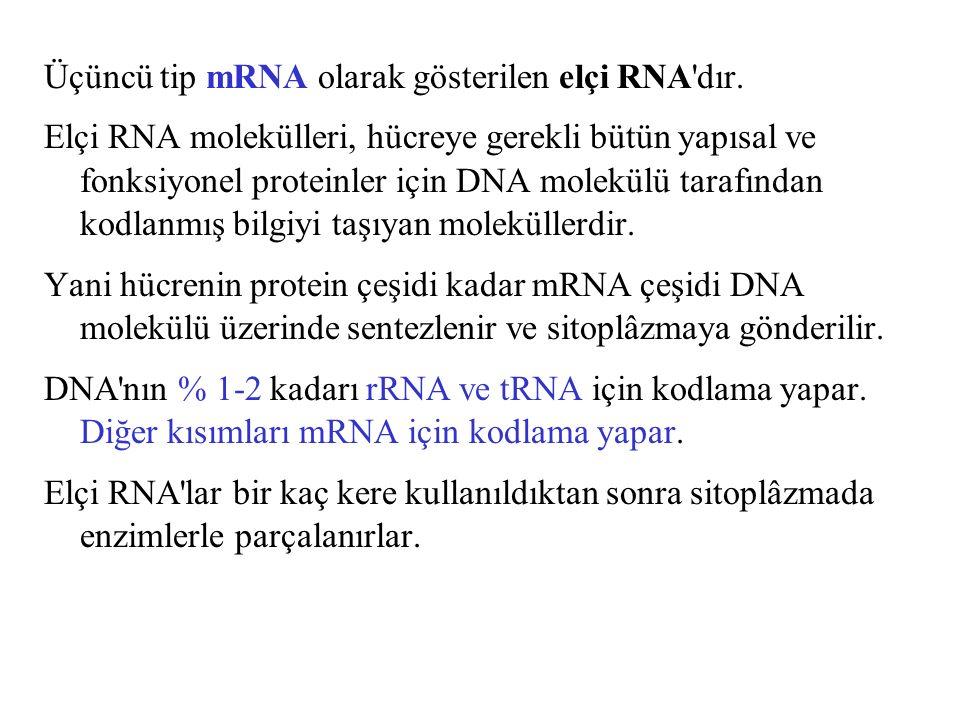 Üçüncü tip mRNA olarak gösterilen elçi RNA dır.