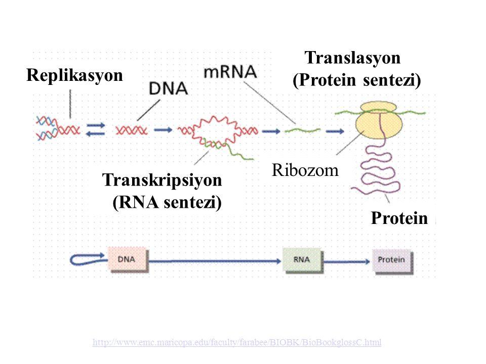 Translasyon (Protein sentezi) Transkripsiyon (RNA sentezi)