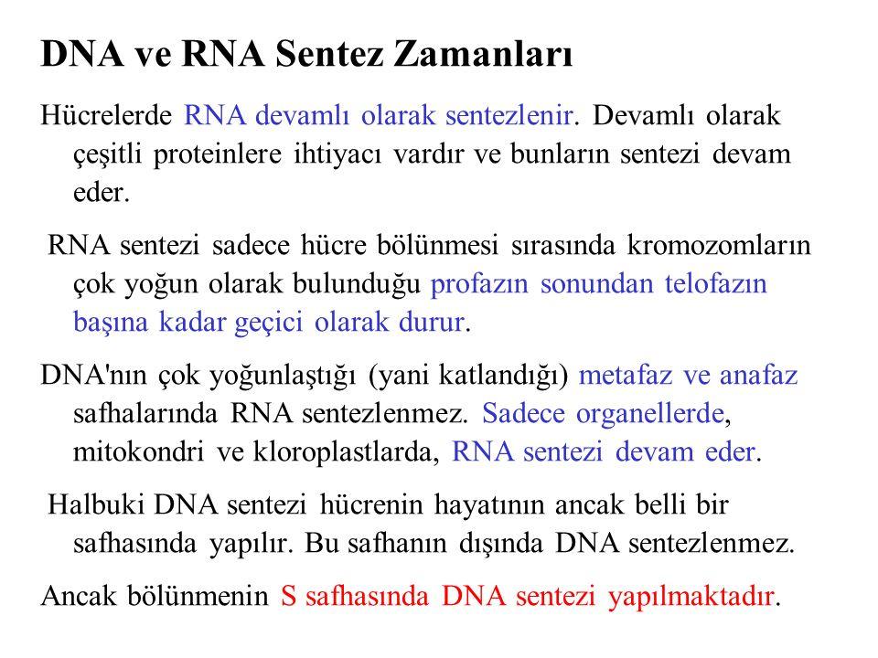 DNA ve RNA Sentez Zamanları