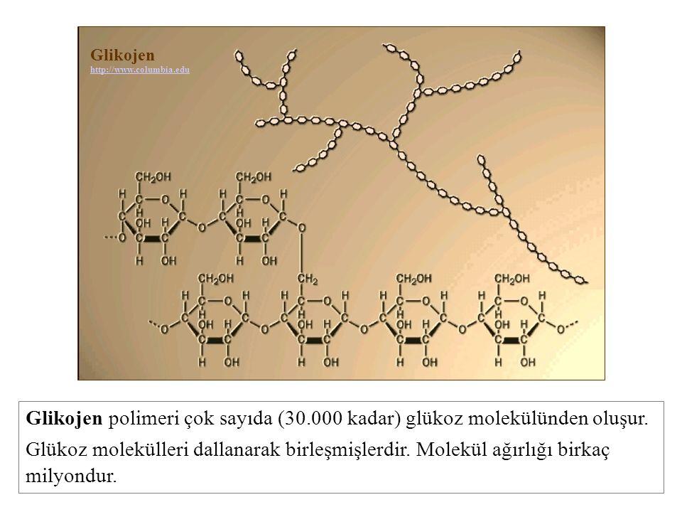 Glikojen http://www.columbia.edu. Glikojen polimeri çok sayıda (30.000 kadar) glükoz molekülünden oluşur.