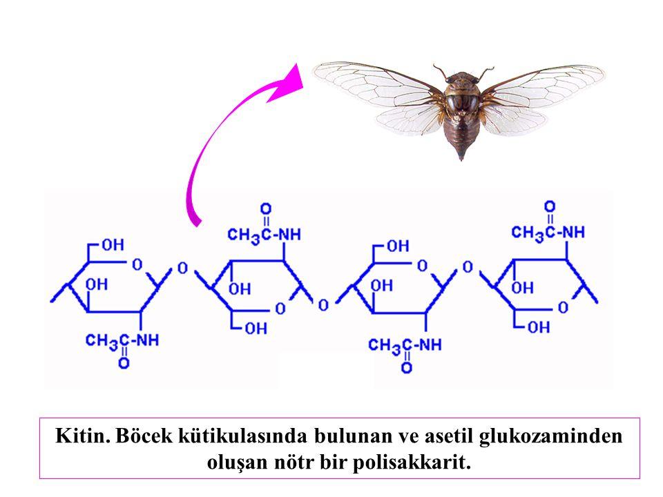 Kitin. Böcek kütikulasında bulunan ve asetil glukozaminden oluşan nötr bir polisakkarit.