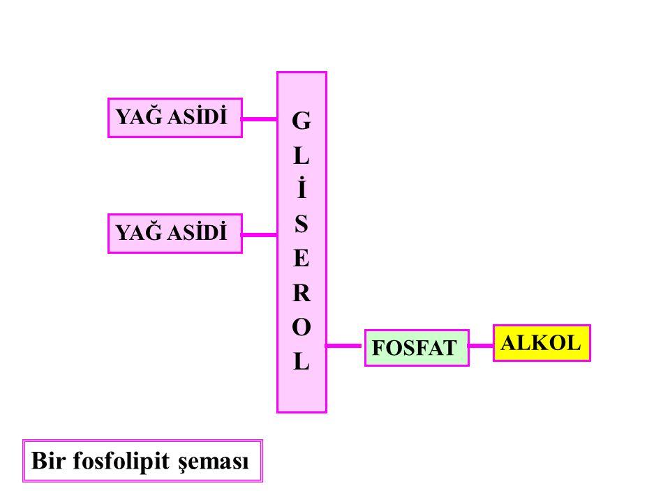 G L İ S E R O YAĞ ASİDİ YAĞ ASİDİ ALKOL FOSFAT Bir fosfolipit şeması