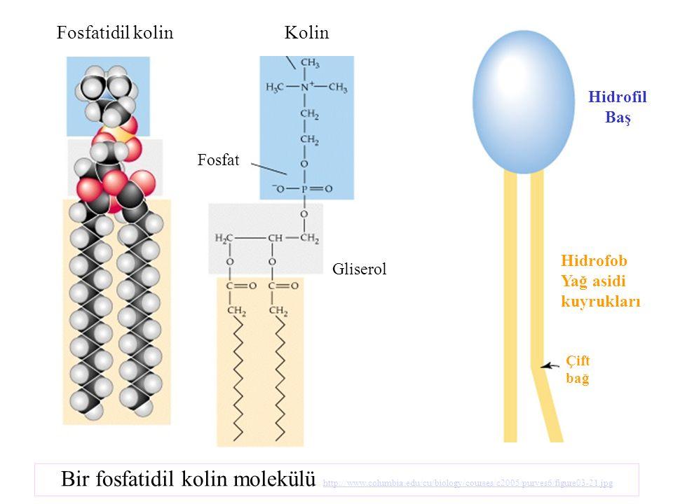 Fosfatidil kolin Kolin. Hidrofil Baş. Fosfat. Hidrofob Yağ asidi kuyrukları. Gliserol. Çift bağ.