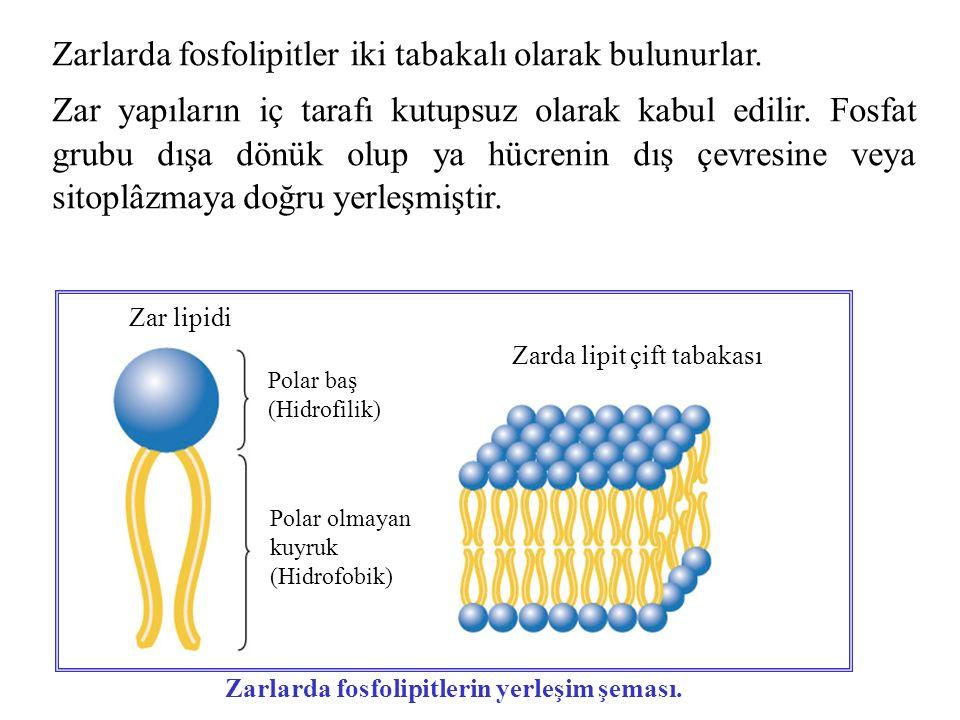 Zarlarda fosfolipitlerin yerleşim şeması.