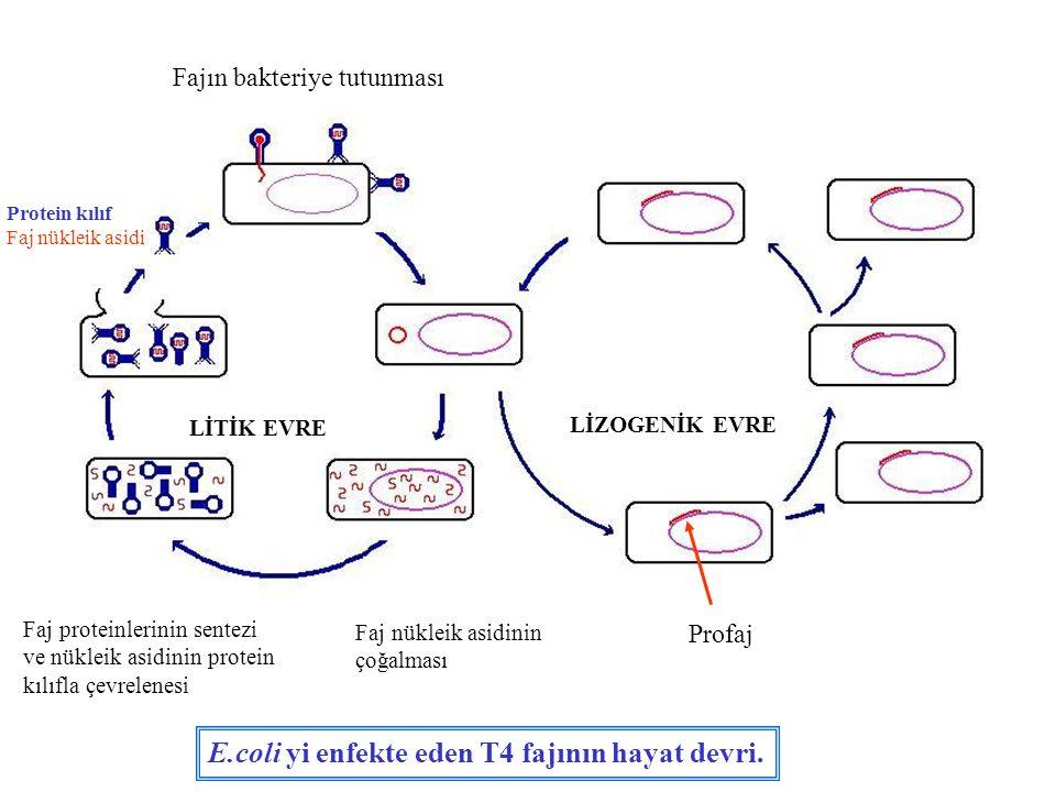 E.coli yi enfekte eden T4 fajının hayat devri.
