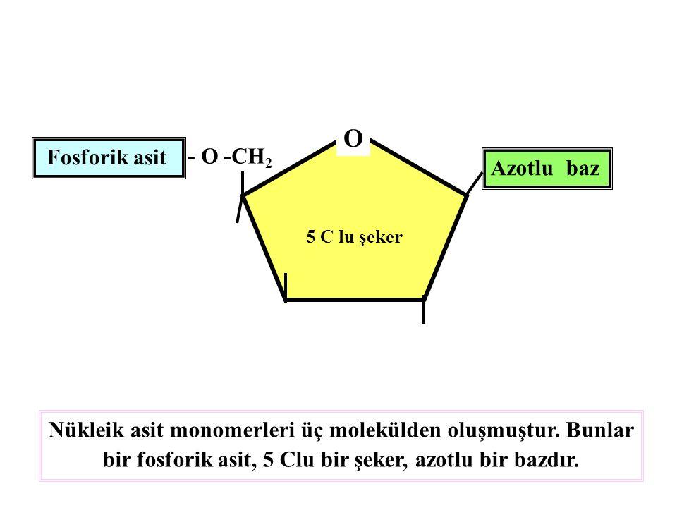 O Fosforik asit - O -CH2 Azotlu baz
