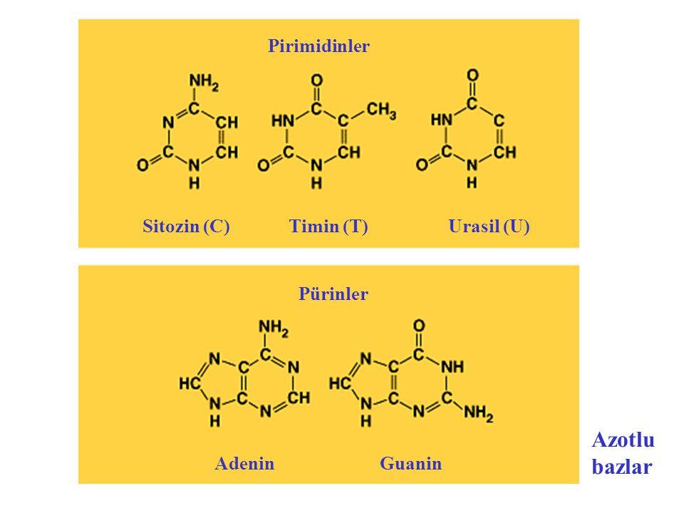 Sitozin (C) Timin (T) Urasil (U)