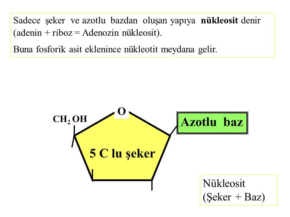 Azotlu baz 5 C lu şeker O Nükleosit (Şeker + Baz)
