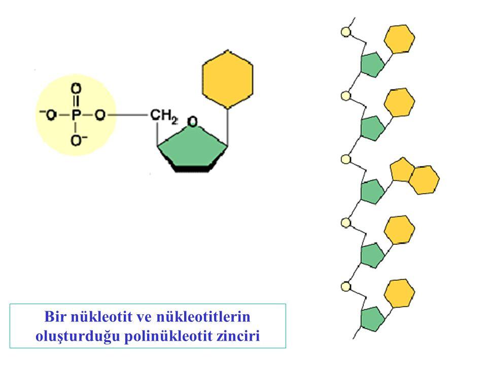 Bir nükleotit ve nükleotitlerin oluşturduğu polinükleotit zinciri