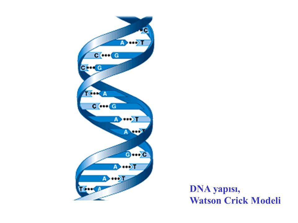 DNA yapısı, Watson Crick Modeli