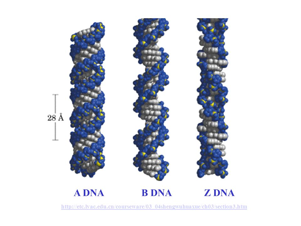 A DNA. B DNA. Z DNA http://etc. lyac. edu