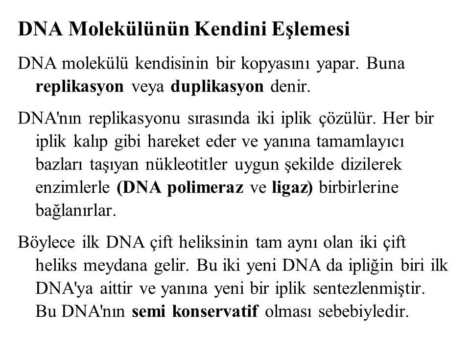 DNA Molekülünün Kendini Eşlemesi