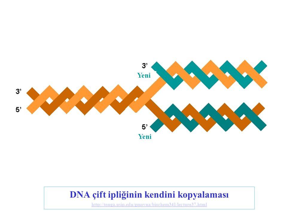 DNA çift ipliğinin kendini kopyalaması