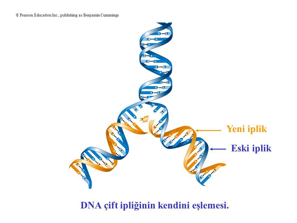 DNA çift ipliğinin kendini eşlemesi.