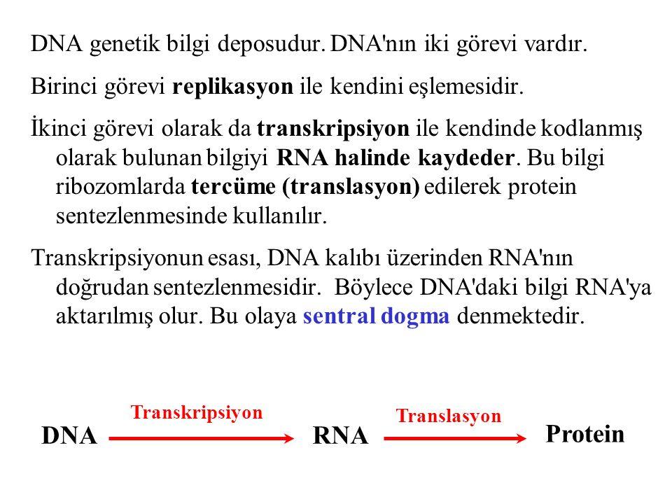 DNA genetik bilgi deposudur. DNA nın iki görevi vardır.