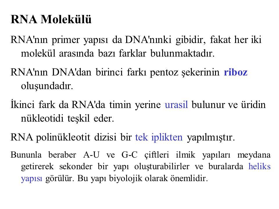 RNA Molekülü RNA nın primer yapısı da DNA nınki gibidir, fakat her iki molekül arasında bazı farklar bulunmaktadır.