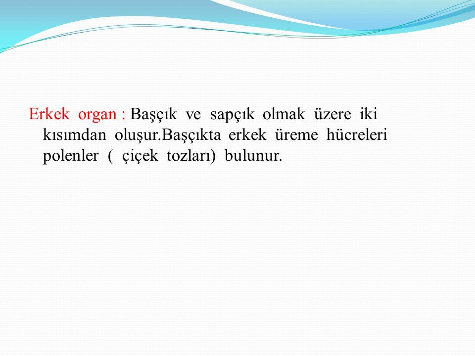 Erkek organ : Başçık ve sapçık olmak üzere iki kısımdan oluşur