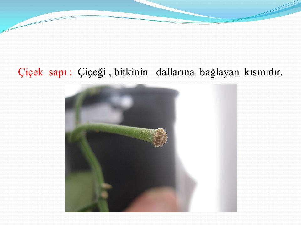 Çiçek sapı : Çiçeği , bitkinin dallarına bağlayan kısmıdır.