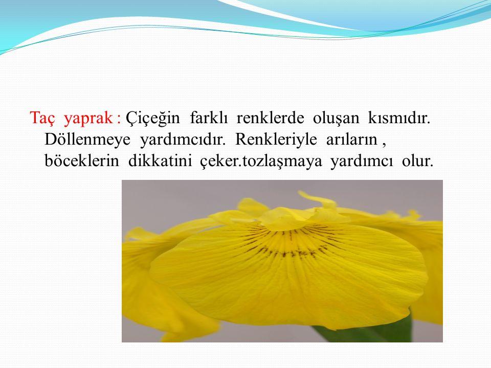 Taç yaprak : Çiçeğin farklı renklerde oluşan kısmıdır