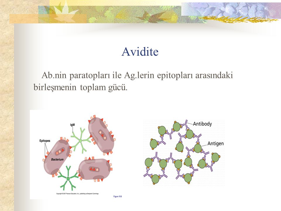 Avidite Ab.nin paratopları ile Ag.lerin epitopları arasındaki birleşmenin toplam gücü.