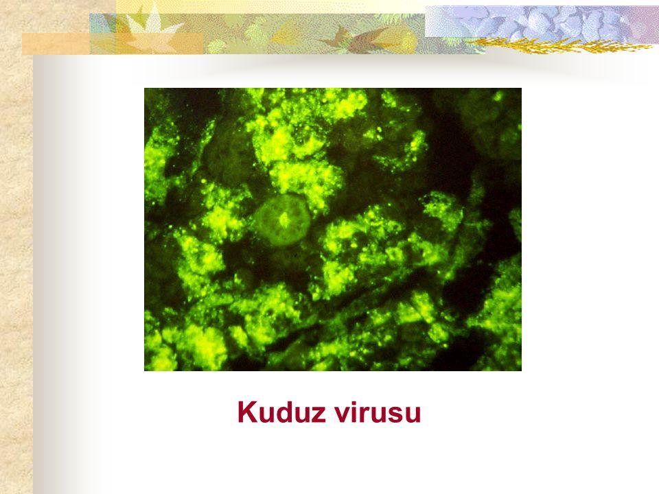 Kuduz virusu