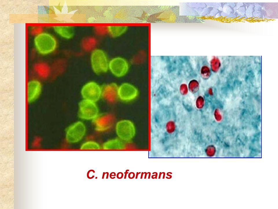 C. neoformans