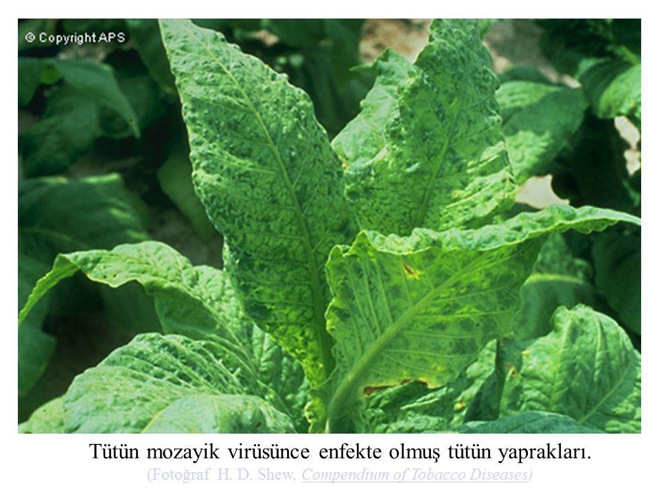 Tütün mozayik virüsünce enfekte olmuş tütün yaprakları.