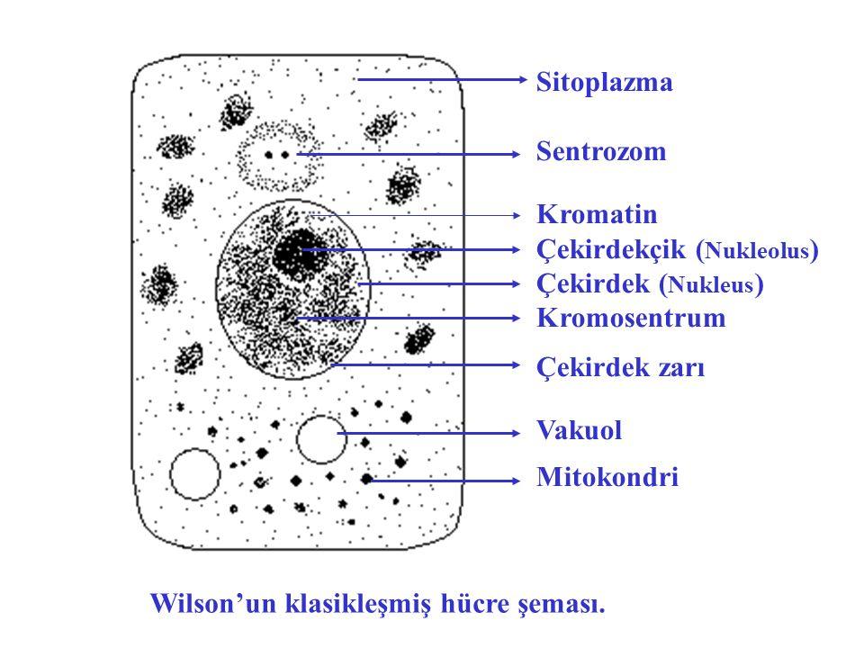 Sitoplazma Sentrozom. Kromatin. Çekirdekçik (Nukleolus) Çekirdek (Nukleus) Kromosentrum. Çekirdek zarı.