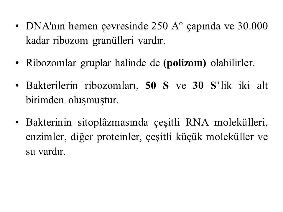 DNA nın hemen çevresinde 250 A° çapında ve 30