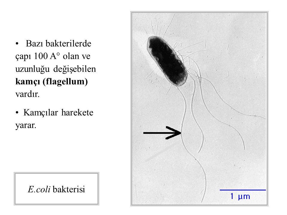Bazı bakterilerde çapı 100 A° olan ve uzunluğu değişebilen kamçı (flagellum) vardır.