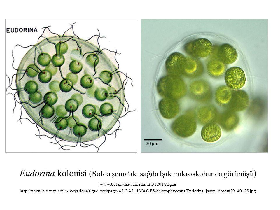 Eudorina kolonisi (Solda şematik, sağda Işık mikroskobunda görünüşü)