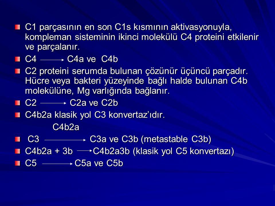C1 parçasının en son C1s kısmının aktivasyonuyla, kompleman sisteminin ikinci molekülü C4 proteini etkilenir ve parçalanır.
