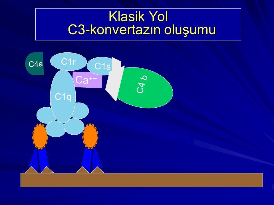 Klasik Yol C3-konvertazın oluşumu