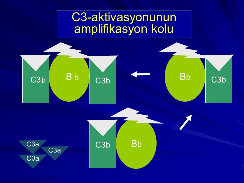C3-aktivasyonunun amplifikasyon kolu