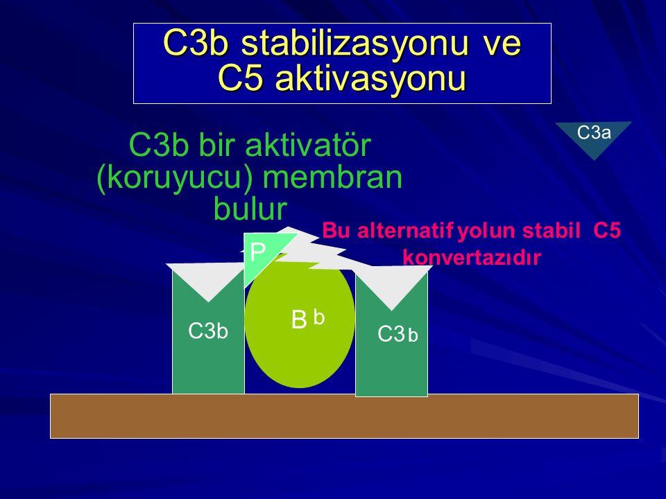 C3b stabilizasyonu ve C5 aktivasyonu