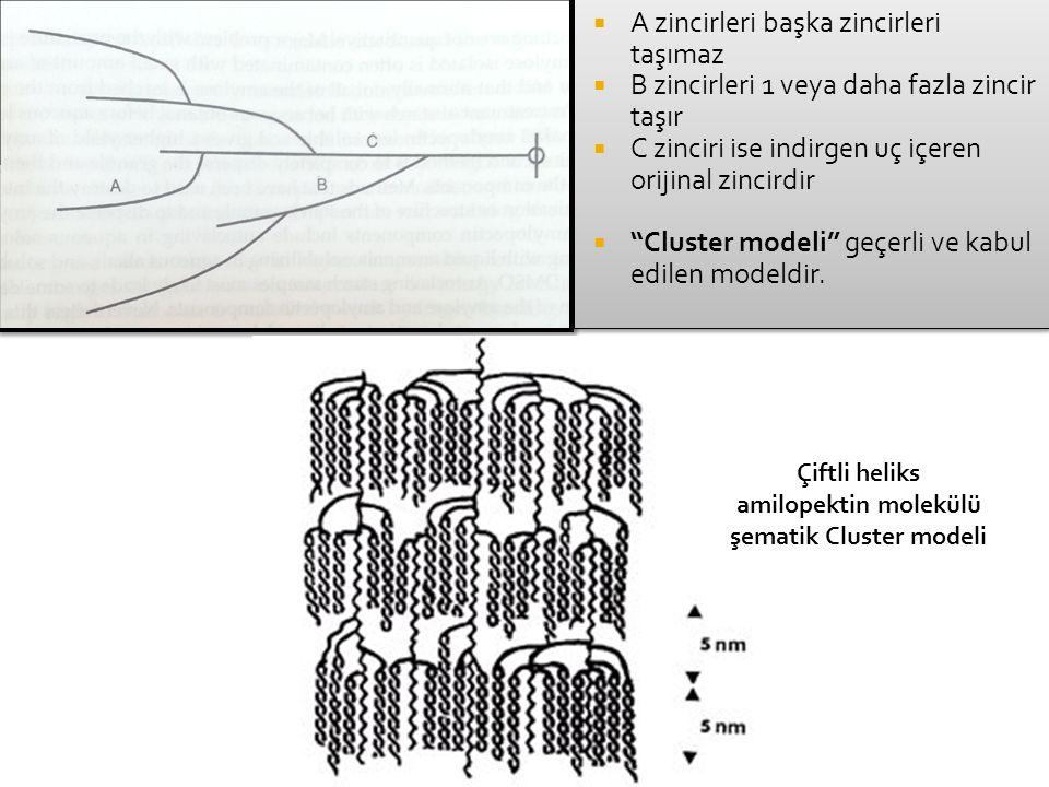 amilopektin molekülü şematik Cluster modeli